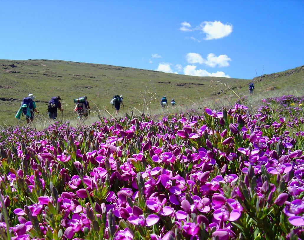 drakensberg-summer-Flowers