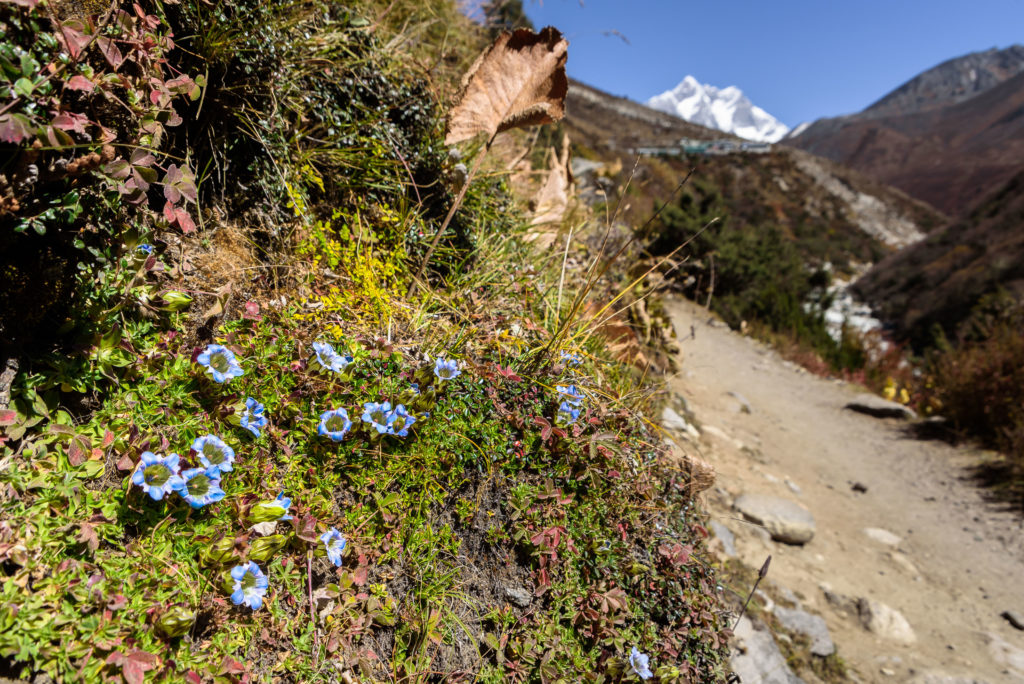 himalayas-gentian-flowers