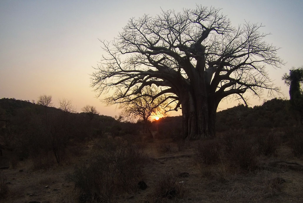 kruger-trail-baobab-silhouette