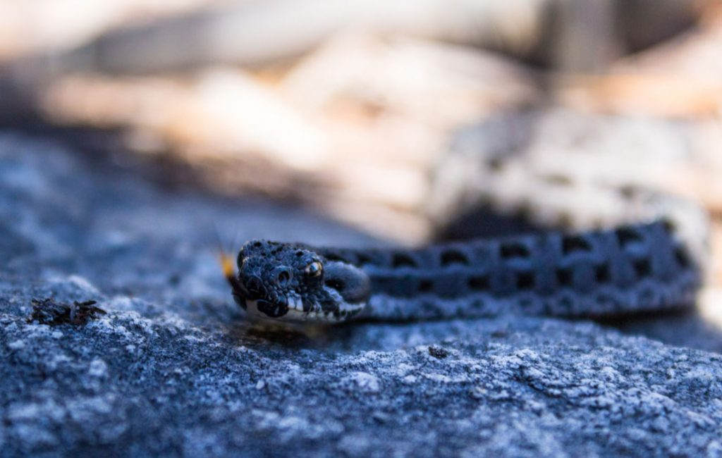 outeniqua-trail-snake-berg-adder