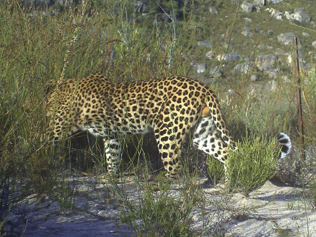 wolfkop-leopard