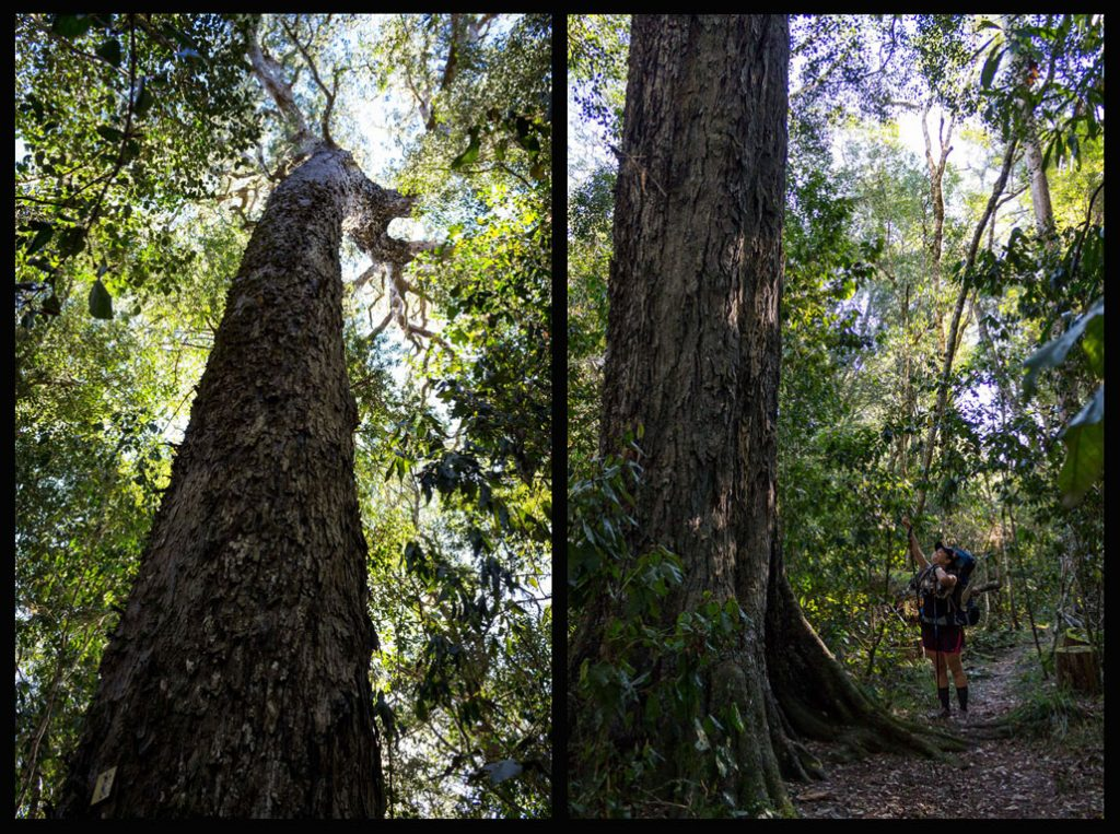 outeniqua-trail-big-yellowwood-tree